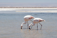 Flamingos at Atacama desert Royalty Free Stock Photo