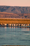 Flamingos in Atacama-Wüste Stockfotografie
