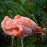 Flamingos awakening Royalty Free Stock Images