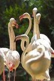 Flamingos in Bangkok. A group of flamingos in Bangkok zoo, Thailand Stock Images