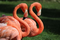 Flamingos Stock Images