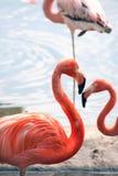 Flamingos On Beach Royalty Free Stock Photography
