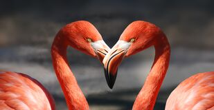 Flamingos with beaks touching Stock Photos