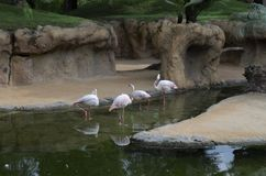 Flamingos. Beautiful Flamingos in Valencia Biopark Royalty Free Stock Image