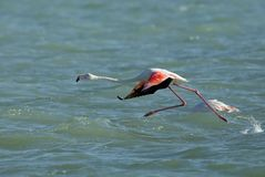 Greater Flamingo running, streching and bending down to fly, Bahrain. Flamingos are beautiful and gregarious wading birds Royalty Free Stock Photos