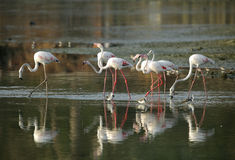 Flamingos with beautiful reflection on water Stock Photo