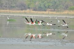 Flamingos in Bhopal Stockfoto