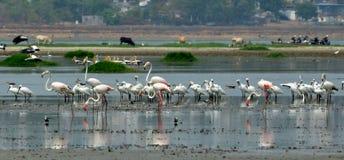 Flamingos in Bhopal Stockbilder