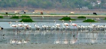 Flamingos in Bhopal Lizenzfreie Stockbilder