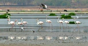 Flamingos in Bhopal Lizenzfreies Stockbild