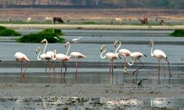 Flamingos in Bhopal Lizenzfreie Stockfotografie