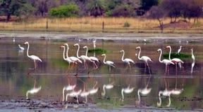 Flamingos in Bhopal Lizenzfreie Stockfotos