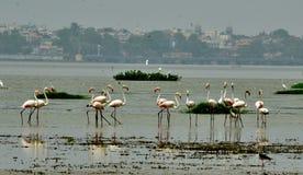 Flamingos in Bhopal Lizenzfreies Stockfoto