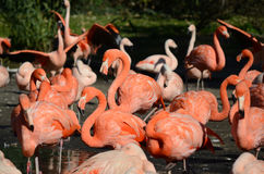 Flamingos stock image