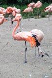 Flamingos. Big group of flamingos walking around royalty free stock photography