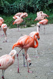 Flamingos. Big group of flamingos walking around stock images