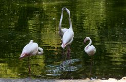 Flamingos at Bioparco Royalty Free Stock Images