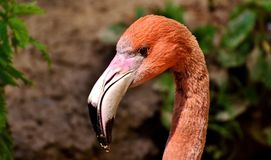 Flamingos, Birds, Water Bird Royalty Free Stock Image