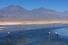 Flamingos in blue salty lagoon Stock Image