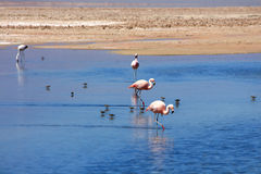 Flamingos in blue salty lagoon Royalty Free Stock Photography