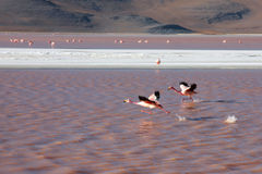 Flamingos in bolivia Stock Images