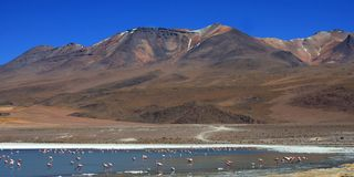 Flamingos in bolivia Royalty Free Stock Photos