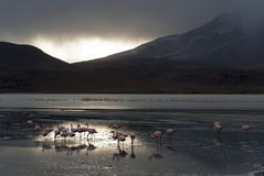 Flamingos Bolivia. Flamingos in a lagune of the Andes in Bolivia Royalty Free Stock Photo