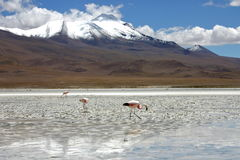 Flamingos in bolivia Royalty Free Stock Image