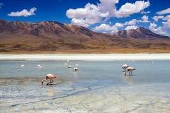 Flamingos in the Bolivian Altiplano. Flamingos in a lagoon in the Bolivian Altiplano Royalty Free Stock Image