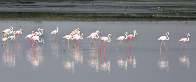 Flamingos bonitos Imagem de Stock Royalty Free