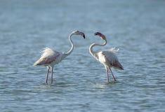 Flamingos bonitos Imagens de Stock