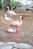 Flamingos bonitos com o bico vermelho e preto Imagem de Stock Royalty Free