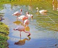 Flamingos bonitos em um rio Imagem de Stock