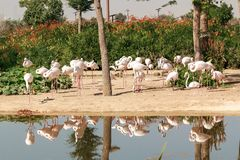Flamingos bonitos no parque do safari de Dubai Foto de Stock Royalty Free