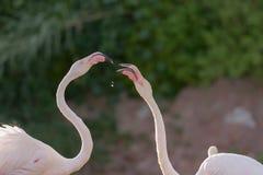 Flamingos bonitos que alimentam-se Imagem de Stock