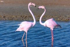 Flamingos bonitos que andam em torno da lagoa e que procuram o alimento imagem de stock