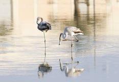 Flamingos bonitos & reflexão dramática na água Foto de Stock Royalty Free
