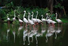 Flamingos brancos Imagens de Stock Royalty Free