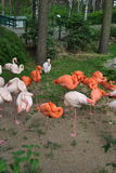 Flamingos. A bunch of flamingoes standing on one leg royalty free stock image