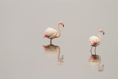 Flamingos On Calm Waters Stock Image