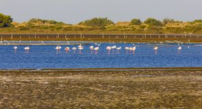 Flamingos in Camargue Stock Photo