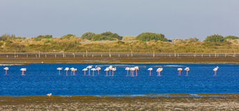 Flamingos in Camargue Royalty Free Stock Photos