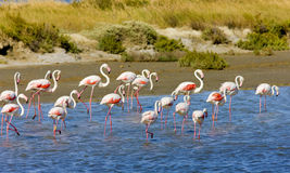 Flamingos in Camargue. Flamingos, Parc Regional de Camargue, Provence, France Royalty Free Stock Images