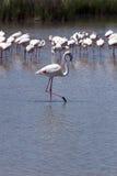 Flamingos of the Camargue Royalty Free Stock Photos