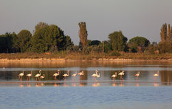 Flamingos in the Camargue. Southern France Royalty Free Stock Photo