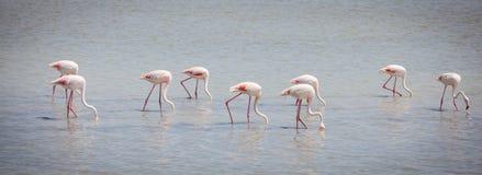 Flamingos Camargue Provence Fotografia de Stock