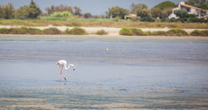 Flamingos Camargue Provence. Flamingos in the water of the Camargue in France Stock Photography