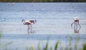 Flamingos Camargue Provence. Flamingos in the water of the Camargue in France Royalty Free Stock Image