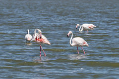 Flamingos in Camargue. Some flamingos in a pond in Camargue Stock Image