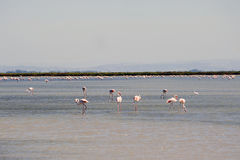 Flamingos in Camargue. In the vicinity of Saintes-Maries-de-la-Mer in Languedoc-Roussillon Stock Image